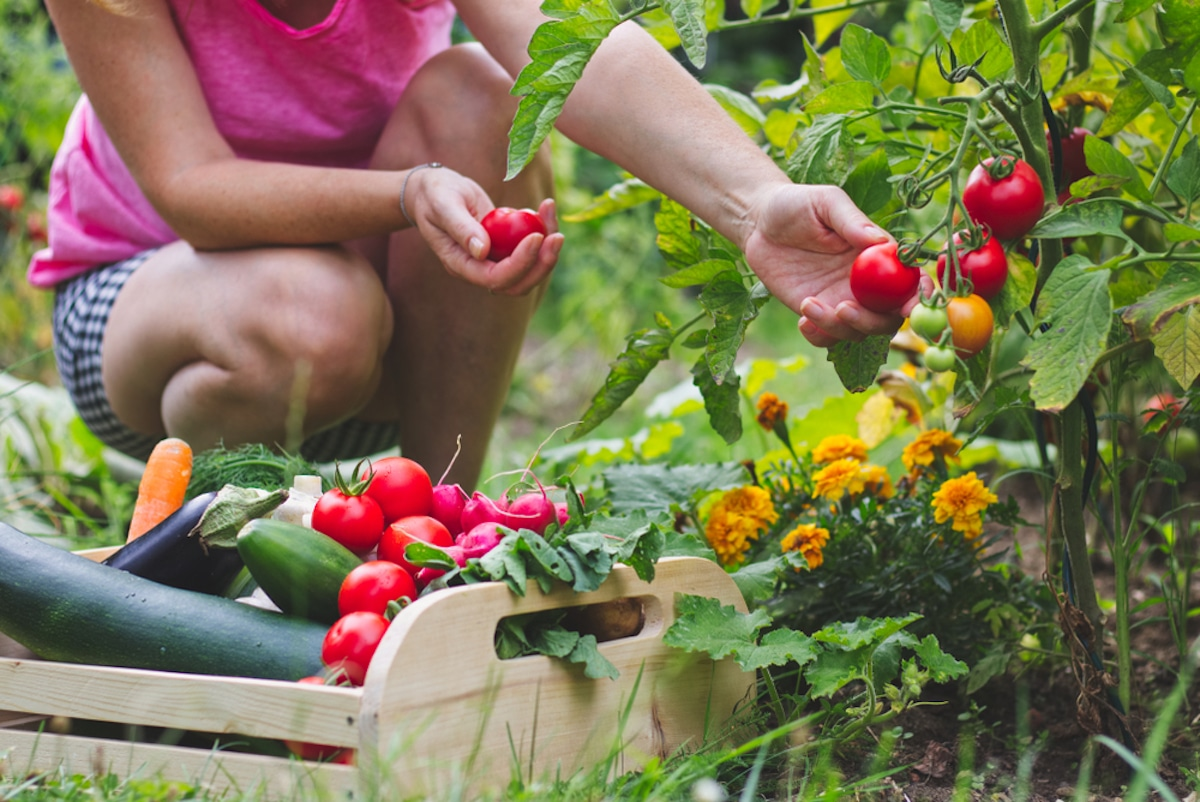 Woman harvesting vegetables from her home vegetable garden